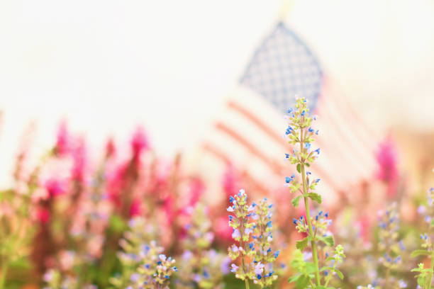 American flag background with salvia and catmint plants stock photo