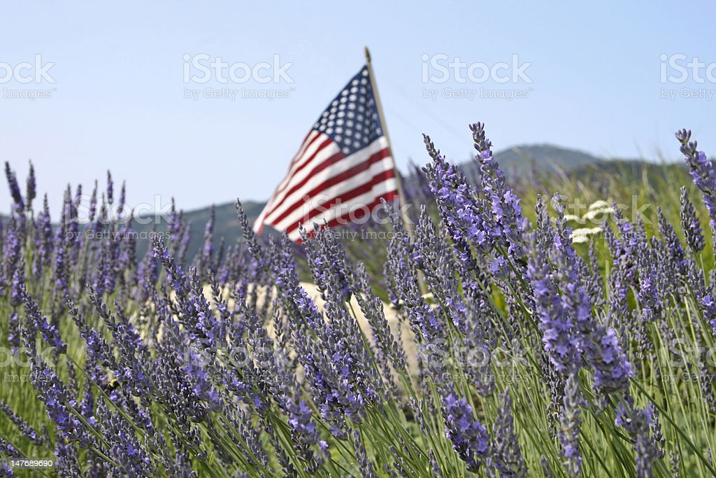 American Flag in a Field of Lavendar stock photo