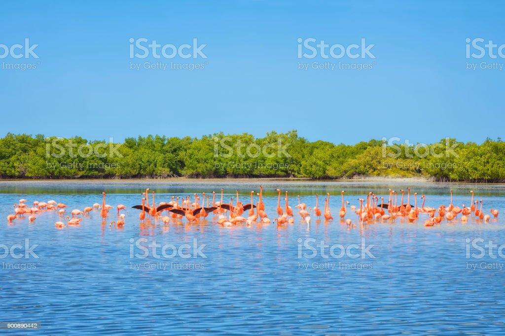 Amerikanische Flamingo bei Ria Lagartos Biosphären-Reservat, Halbinsel Yucatan, Mexiko – Foto