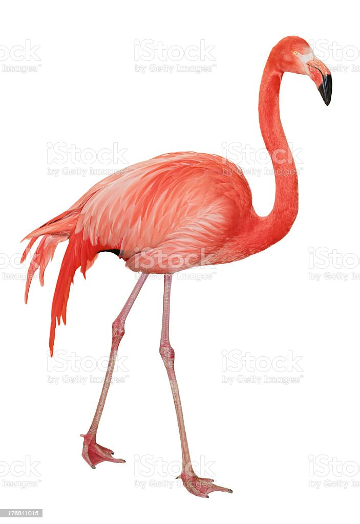 American Flamingo cutout stock photo