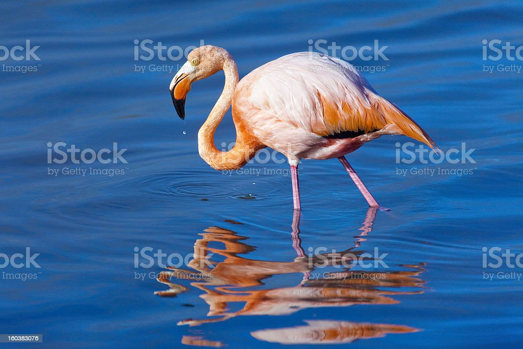 American Flamingo (Phoenicopterus ruber), Floreana Island, Galapagos, Ecuador stock photo