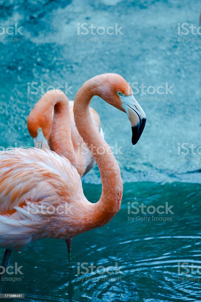 American Flamingo royalty-free stock photo