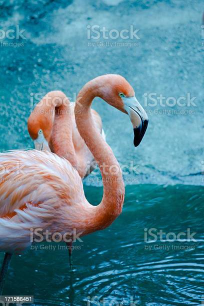 The American Flamingo (Phoenicopterus ruber) is a large species of flamingo closely related to the Greater Flamingo and Chilean Flamingo.