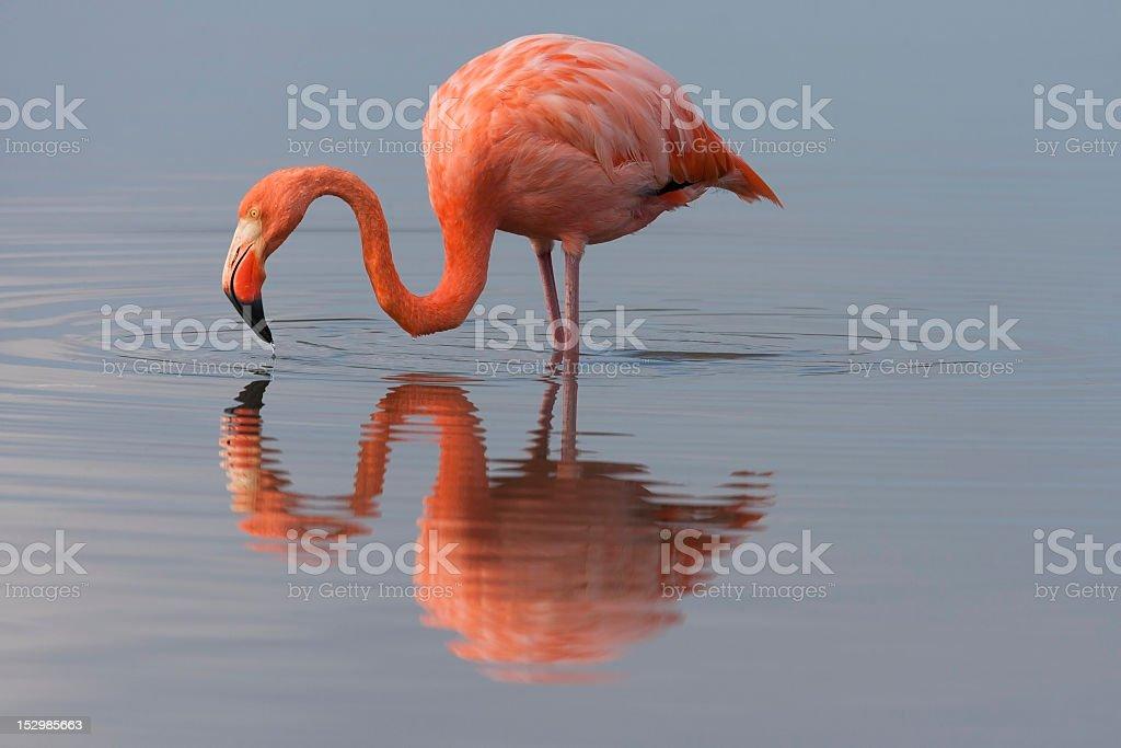 American Flamingo standing in lake stock photo
