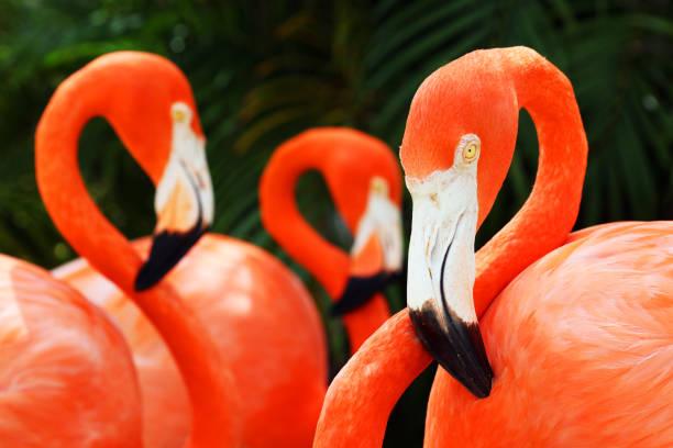 amerikaanse flamingo's (phoenicopterus ruber) clos-up portret, great inagua island, de bahama's - nassau new providence stockfoto's en -beelden