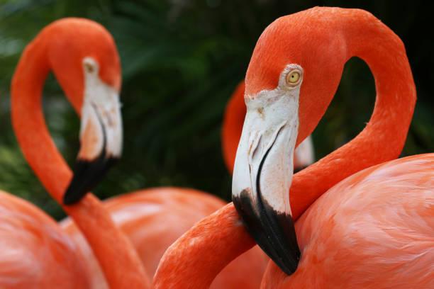 amerikanische flamingos (phoenicopterus ruber) clos-up portrait, great inagua island, bahamas - baumgruppe stock-fotos und bilder