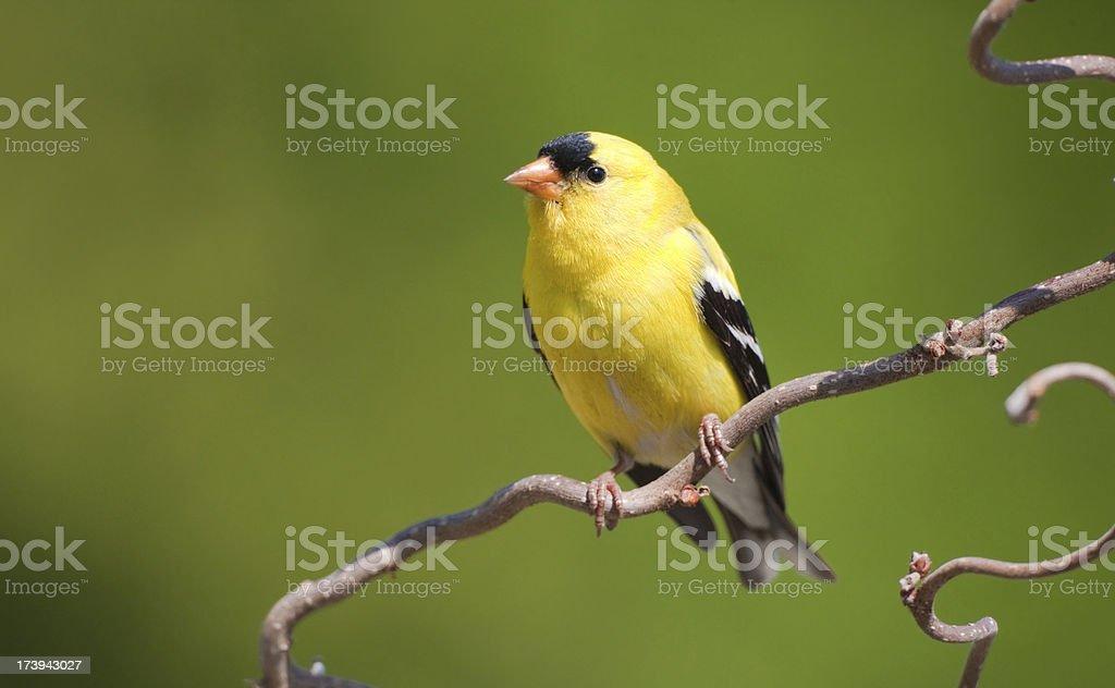 American Gold Finch - Male stock photo