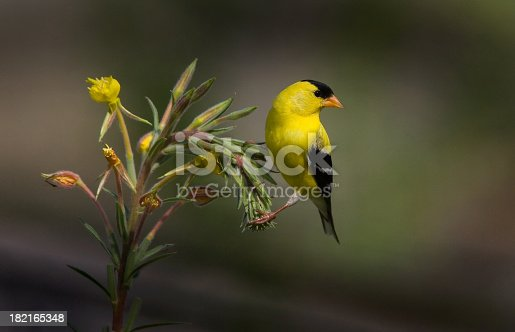 American Gold Finch perching pretty on an evening primrose plant, with dark green background.  Just like an oil painting, higly recommended for a print !!