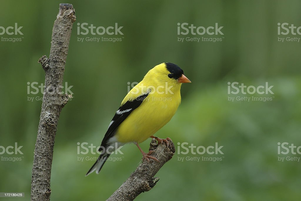 American Gold Finch(Male) (Carduelis tristis) stock photo