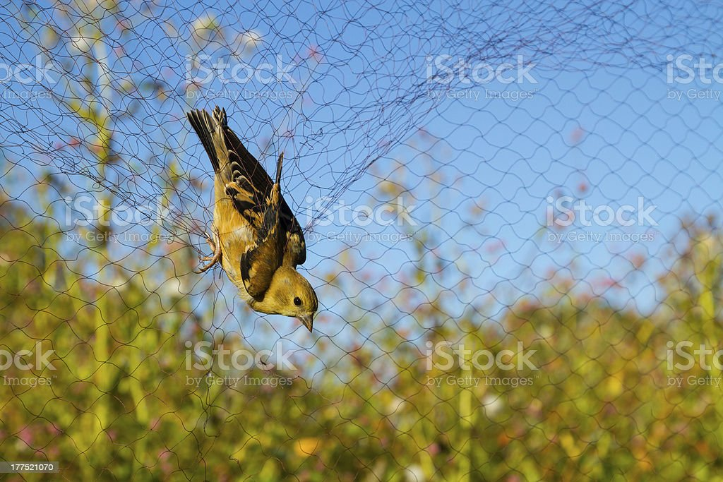 American Golden Finch stock photo