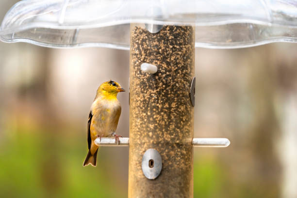 american goldfinch bird at bird feeder - mphillips007 stock pictures, royalty-free photos & images