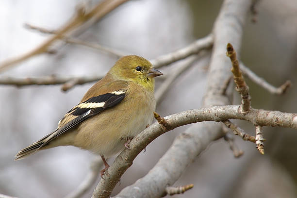 American Goldfinch in Winter  american goldfinch stock pictures, royalty-free photos & images