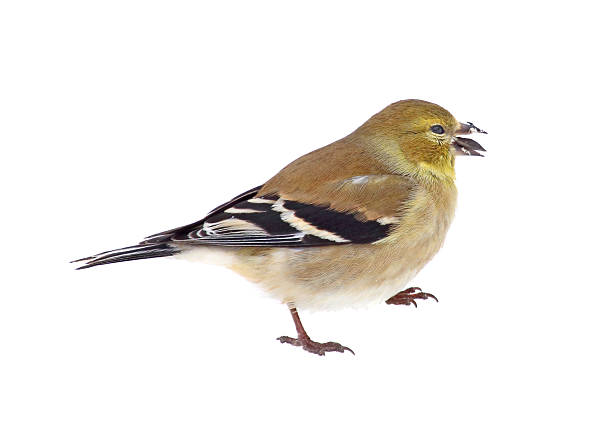 American Goldfinch Isolated American goldfinch, Carduelis tristis, with a seed in its beak isolated on white american goldfinch stock pictures, royalty-free photos & images