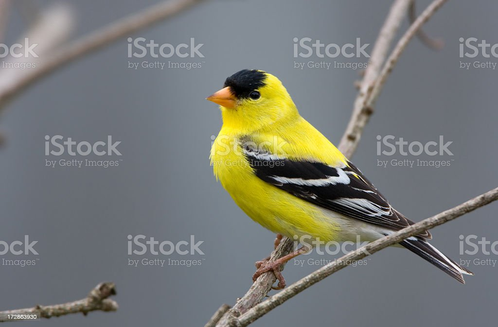 American Goldfinch - Male royalty-free stock photo
