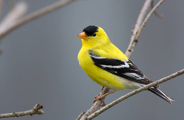 American Goldfinch - Male American Goldfinch - Male finch stock pictures, royalty-free photos & images