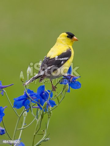 American Goldfinch, perched on spring wildflowers, looking over shoulder