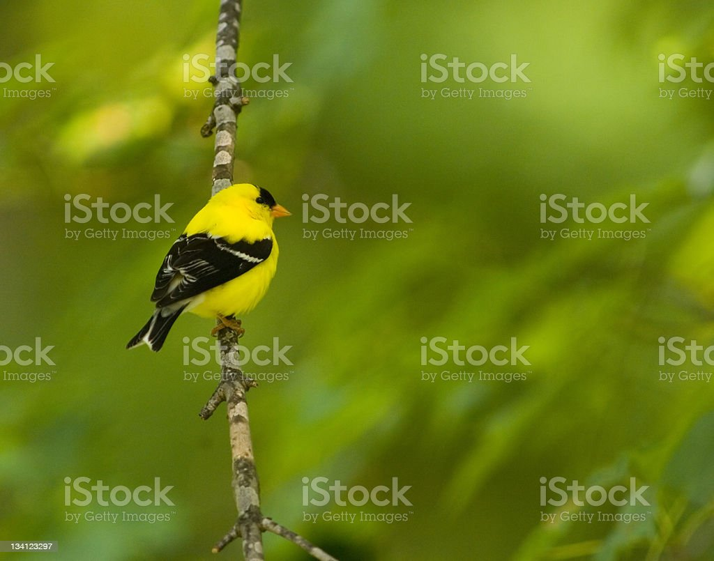 American goldfinch on a branch stock photo