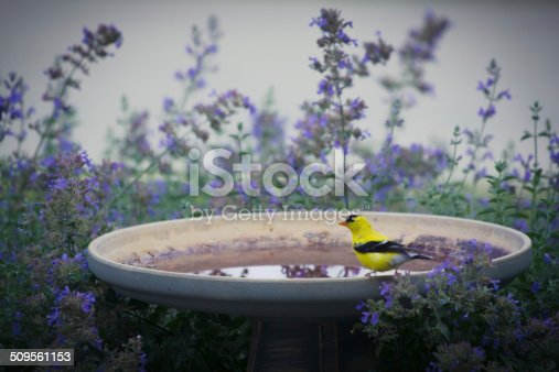 A goldfinch gets a drink from a birdbath surrounded by purple catmint.