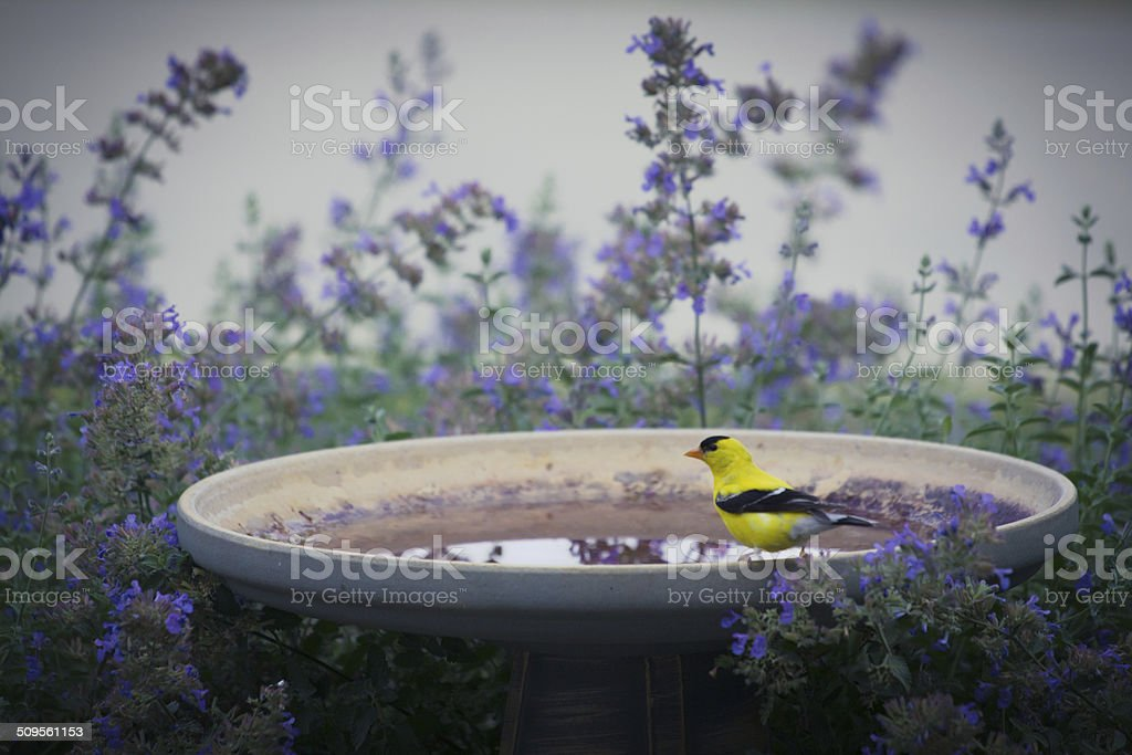 American Goldfinch On Birdbath stock photo