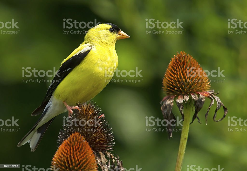 American Goldfinch on Coneflower stock photo