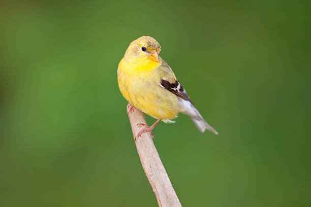 American Goldfinch on Green stock photo