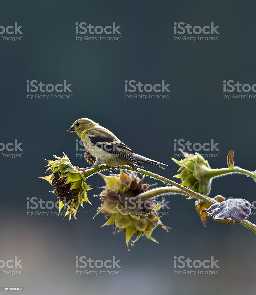 American Goldfinch (Carduelis tristis) on Sunflower Stalk royalty-free stock photo