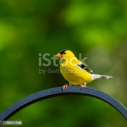 A beautiful yellow male goldfinch, sits on a trellis with soft green bokeh in the background