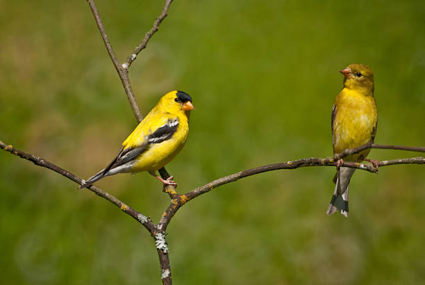 American Goldfinch Pair Perched on a Branch The American Goldfinch (Carduelis tristis) is the state bird of Washington, Iowa and New Jersey. It is a fairly common summer resident to the Pacific Northwest, migrating to the southern USA and Mexico in the winter. This goldfinch pair, perched on a branch, was photographed in Edgewood, Washington State, USA. american goldfinch stock pictures, royalty-free photos & images