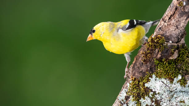 American Goldfinch Perched in a Tree American Goldfinch Perched in a Tree american goldfinch stock pictures, royalty-free photos & images