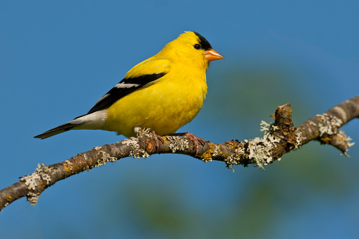 American Goldfinch Perched In A Tree Stock Photo - Download Image Now