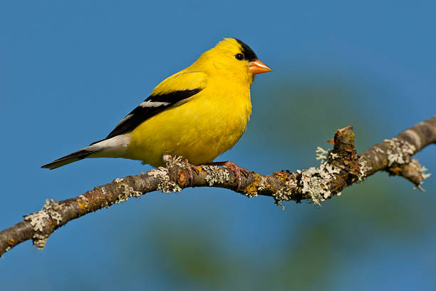 American Goldfinch Perched in a Tree stock photo