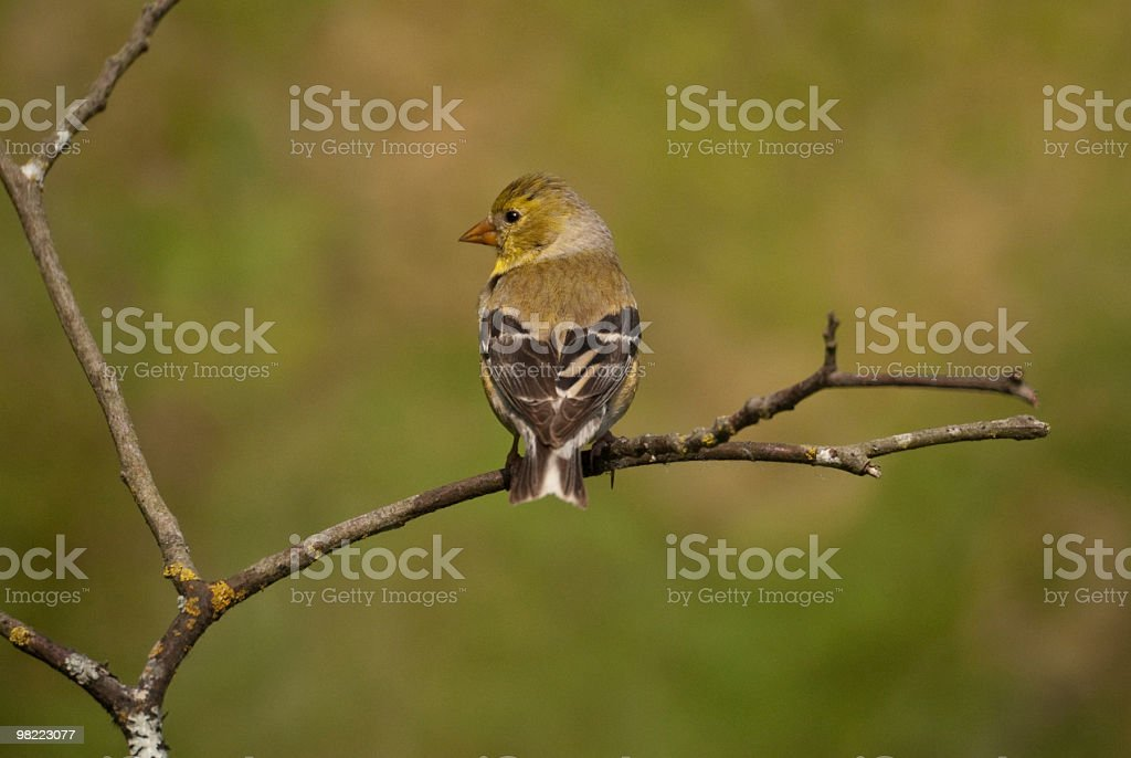 American Goldfinch Perched on a Branch royalty-free stock photo