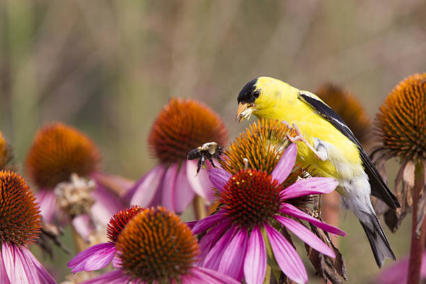 American goldfinch perched on pink flowers eating seeds. American goldfinch perched on pink flowers eating seeds chasing away a bee. gold finch stock pictures, royalty-free photos & images
