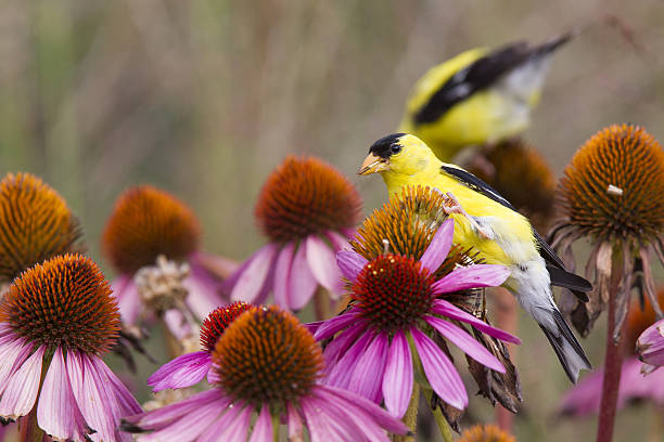 American goldfinch perched on pink flowers eating seeds. American goldfinch perched on pink flowers eating seeds. american goldfinch stock pictures, royalty-free photos & images