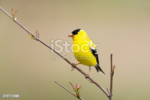 American Goldfinch, male bird in the wild. Beautiful yellow bird perching.
