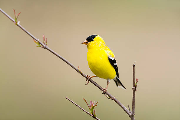 American goldfinch perching, male, yellow bird in the wild American Goldfinch, male bird in the wild. Beautiful yellow bird perching. american goldfinch stock pictures, royalty-free photos & images