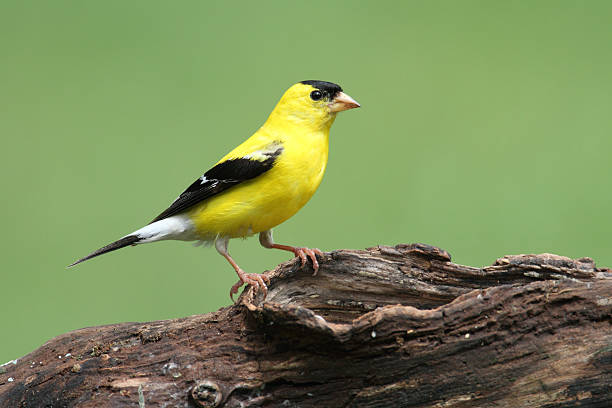 American Goldfinch American Goldfinch (Carduelis tristis) on a log american goldfinch stock pictures, royalty-free photos & images