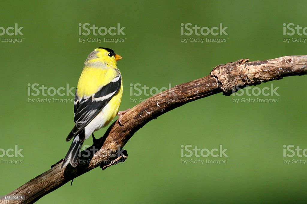 American Goldfinch (Carduelis Tristis) royalty-free stock photo