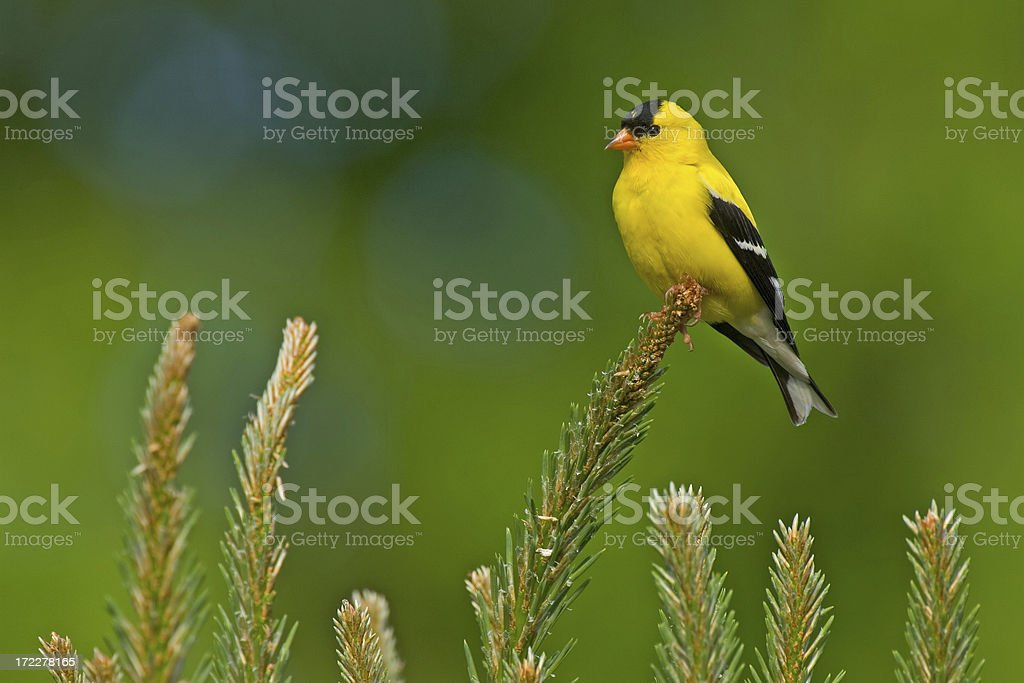 American Goldfinch (Male) royalty-free stock photo
