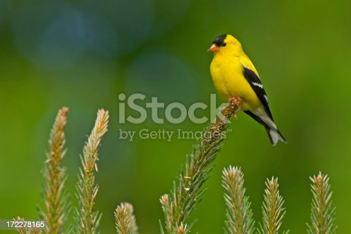 A male American Goldfinch perches on a branch of a Pine tree on a spring day in Virginia.