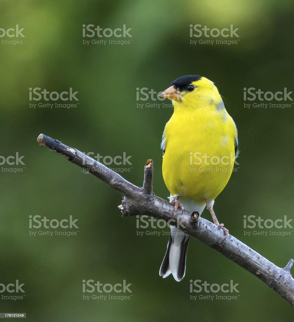 American Goldfinch (Male) stock photo