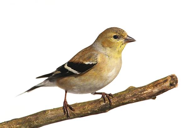 American Goldfinch (Carduelis tristis) American Goldfinch (Carduelis tristis) perched in a tree with a white background gold finch stock pictures, royalty-free photos & images