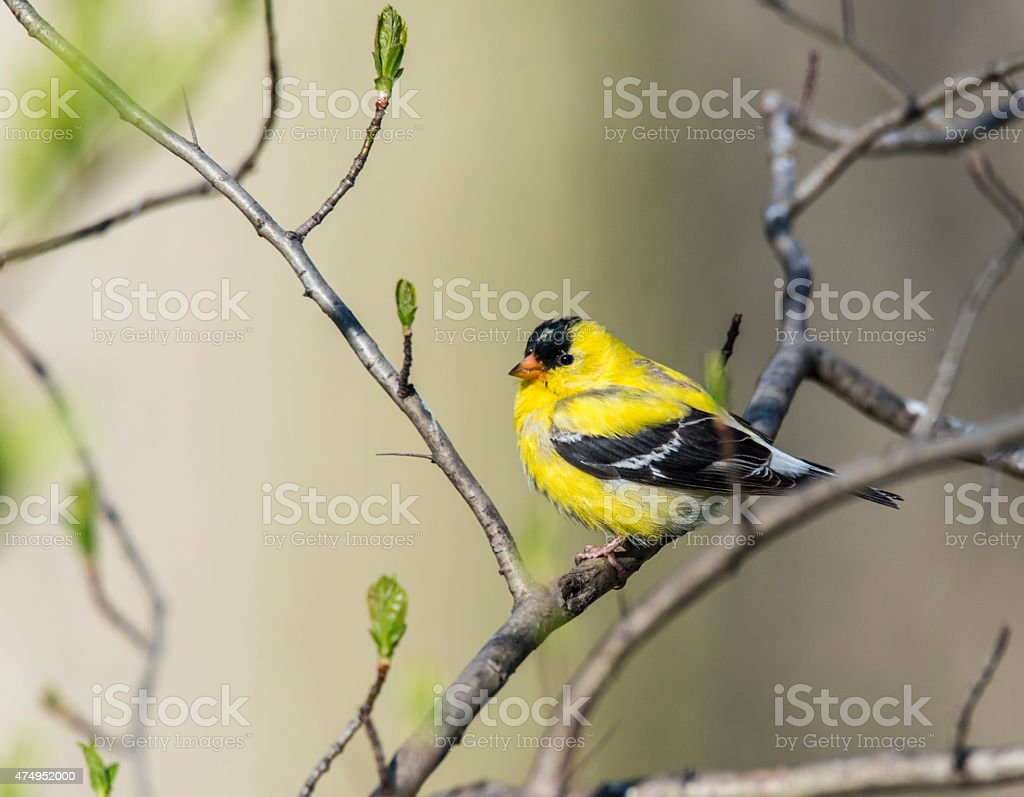 American goldfinch (Spinus tristis) stock photo