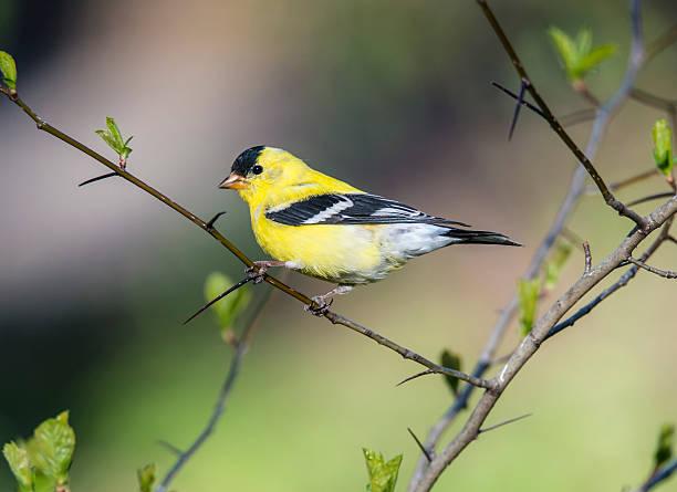 American goldfinch (Spinus tristis) stock photo