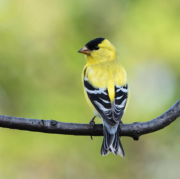 American Goldfinch (Male) American Goldfinch drinking water gold finch stock pictures, royalty-free photos & images