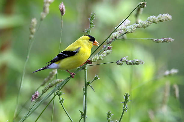 American Goldfinch An American Goldfinch eating seed off a plant. gold finch stock pictures, royalty-free photos & images