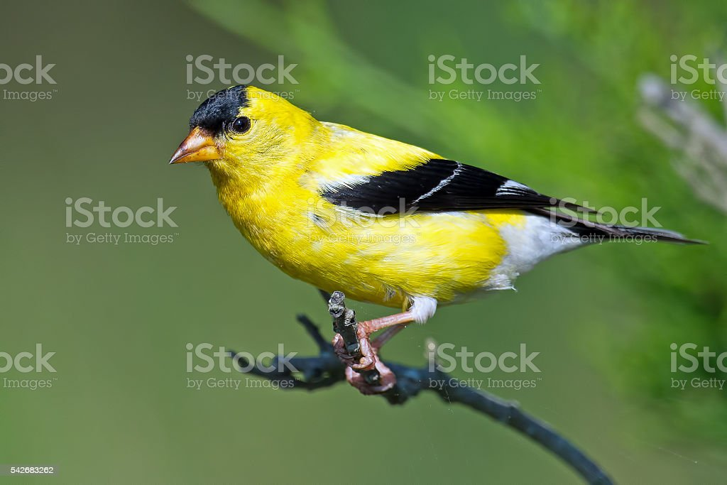 American Goldfinch stock photo