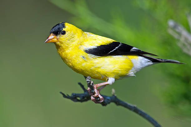 American Goldfinch American Goldfinch american goldfinch stock pictures, royalty-free photos & images
