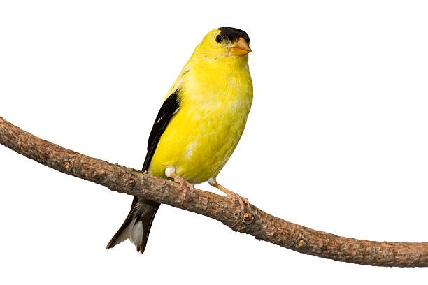 american goldfinch American goldfinch at rest on branch. Isolated on a white background. gold finch stock pictures, royalty-free photos & images