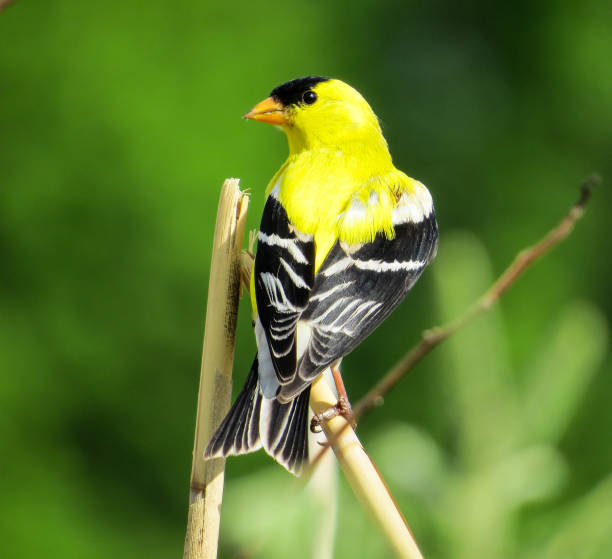 American Goldfinch Posing On A Branch Male American Goldfinch Portrait In The Green Nature american goldfinch stock pictures, royalty-free photos & images